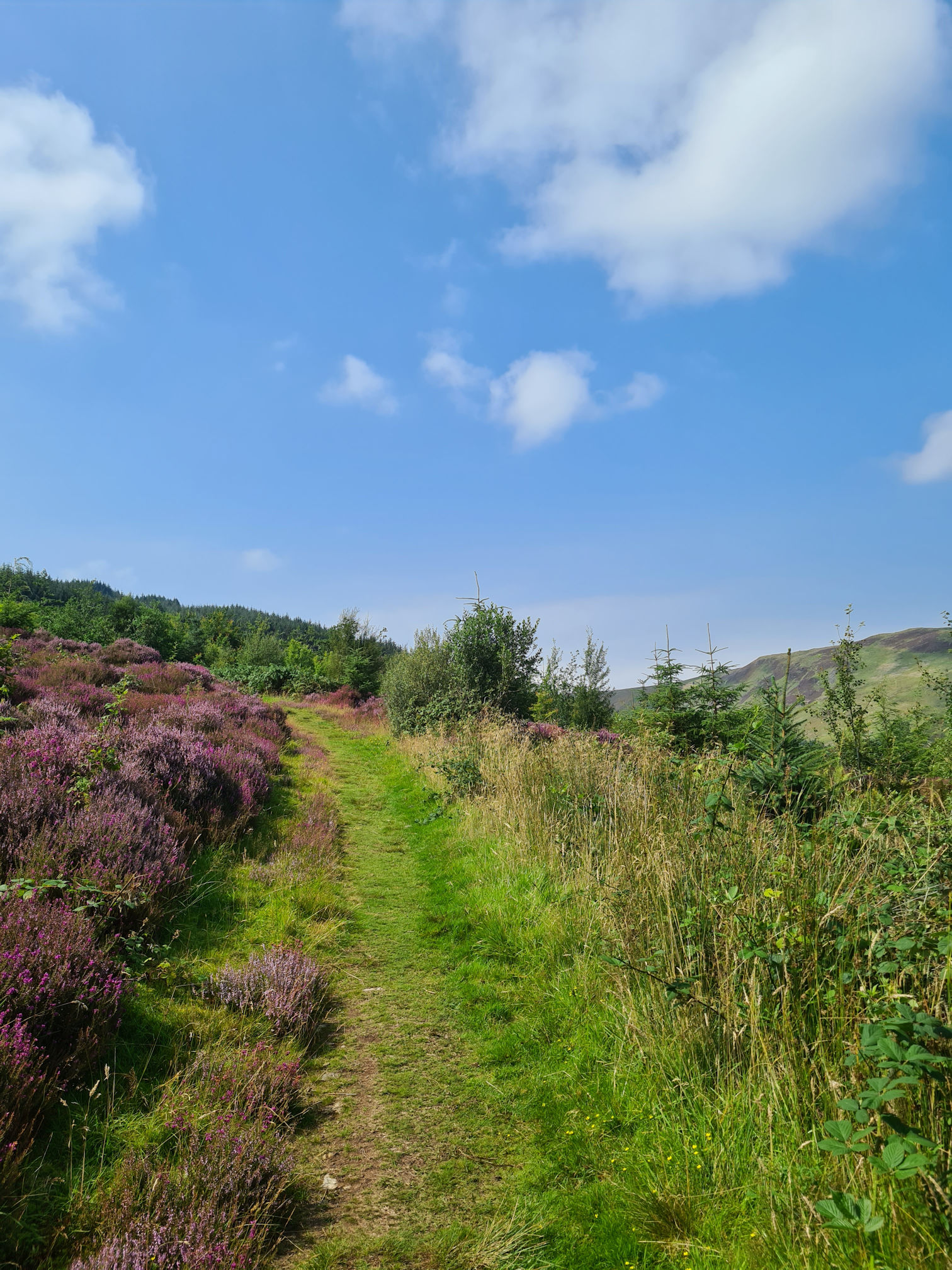 Grassy uphill path and purple heather, blue sky and white clouds